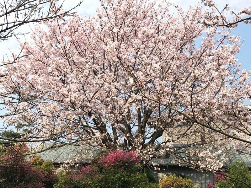 櫻花季櫻花~